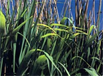 Reed Bed Sewage Treatment Systems